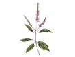 Create botanical illustrations of herbs and plants