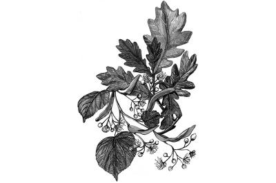 Draw botanical illustration for web & print use - unlimited revisions