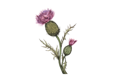 Paint a watercolor botanical illustration