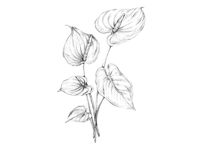 Draw black & white botanical illustration in pencil