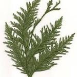 Cedars A.