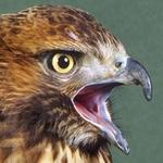 Itshawk B.